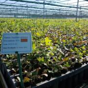 Der Eukalyptus Globulus nach 3 Monaten
