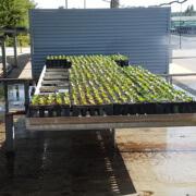 Die gerade eingepflanzten Sätzlinge werden gewässert